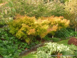 Pond - Acer Palmatum - Green - Autumn