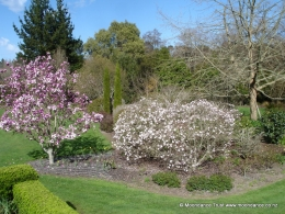 Terrace - Magnolia Soulangiana and Stellata