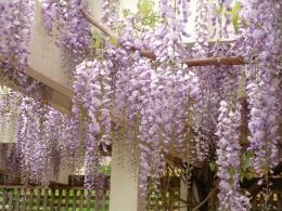 wisteria-sinensis-12